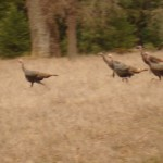 Blurry turkey but check out their footwork