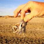 Only Tilapia are left in the Salton Sea
