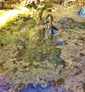 Tree reflected in an algal pool