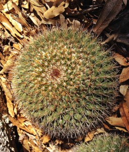 A button cactus I found on my side excursion.