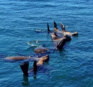 California Sea Lions floating and catching rays.