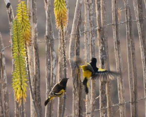 A pair of Scott's Orioles.