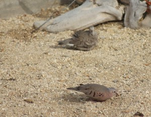 Ground doves.