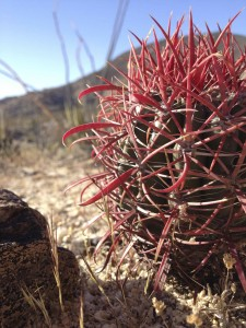 Baby barrel cactus view of the world.
