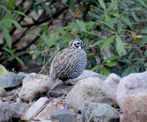 Male Montezuma, Mearn's, Fool's, or Harlequin Quail.