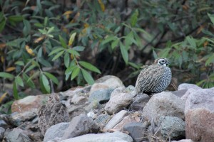 Male and female Montezuma Quail