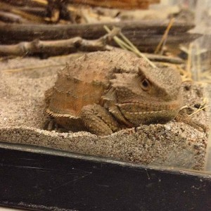 An aggrieved Horned Lizard.