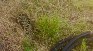 Black-tailed Rattlesnake that showed me its fangs