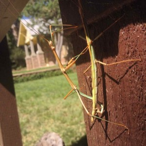 Mating Stick Bugs