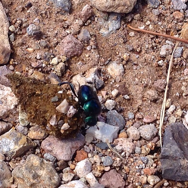 Or perhaps a dung beetle. We've got plenty of food for them.