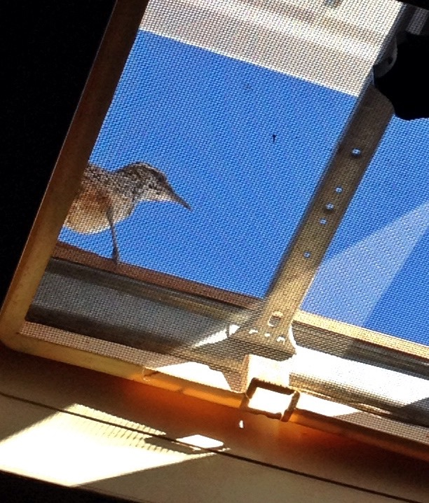 My favorite new pet for consideration: Cactus wren.