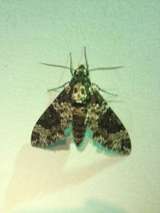 Death head sphinx moth.