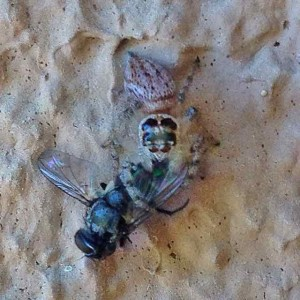 Then I found this jumping spider eating a fly.