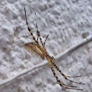 Profile of Orb Weaver