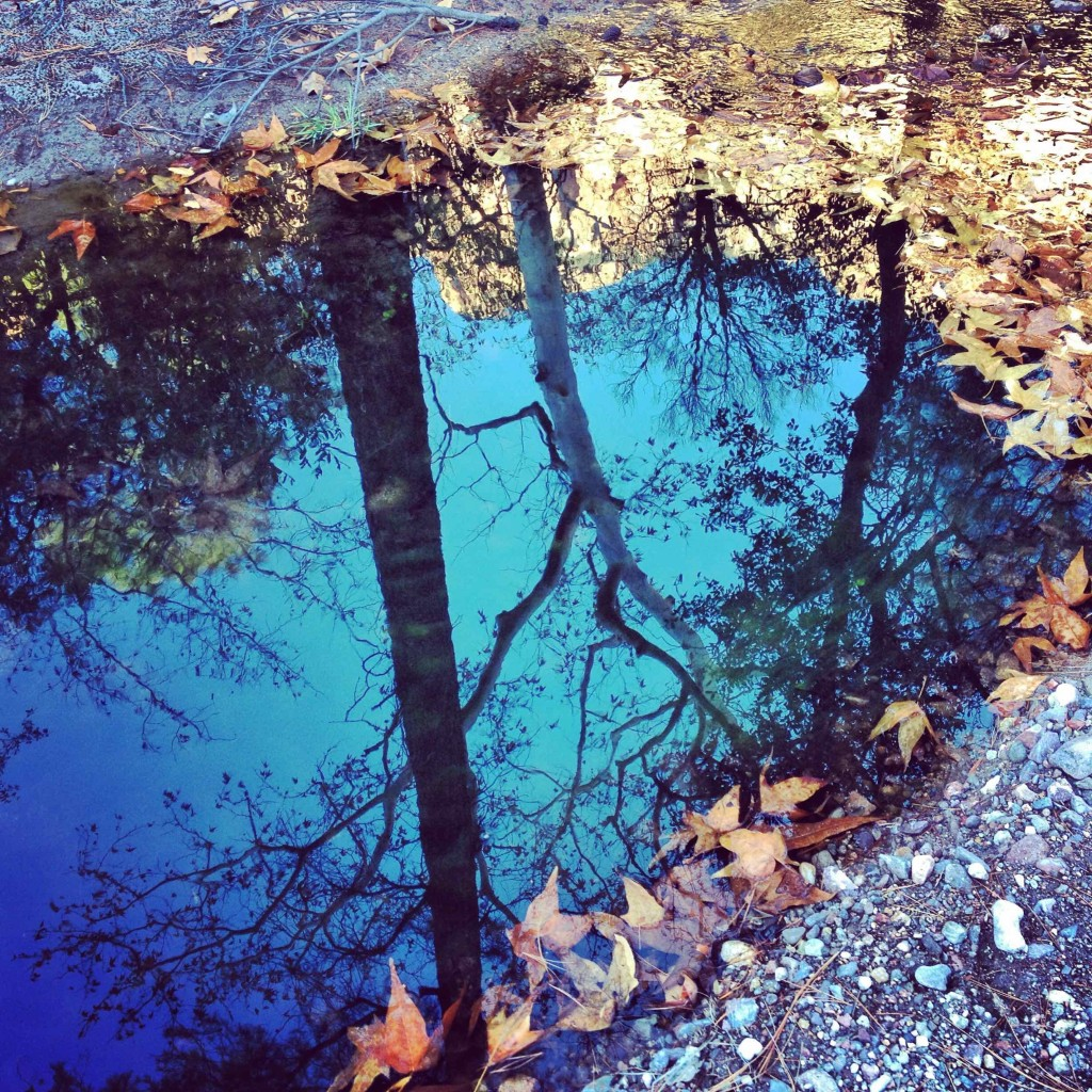 Sycamore tree reflecting from a puddle.