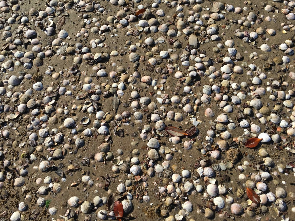 Shells at Magdalena Bay