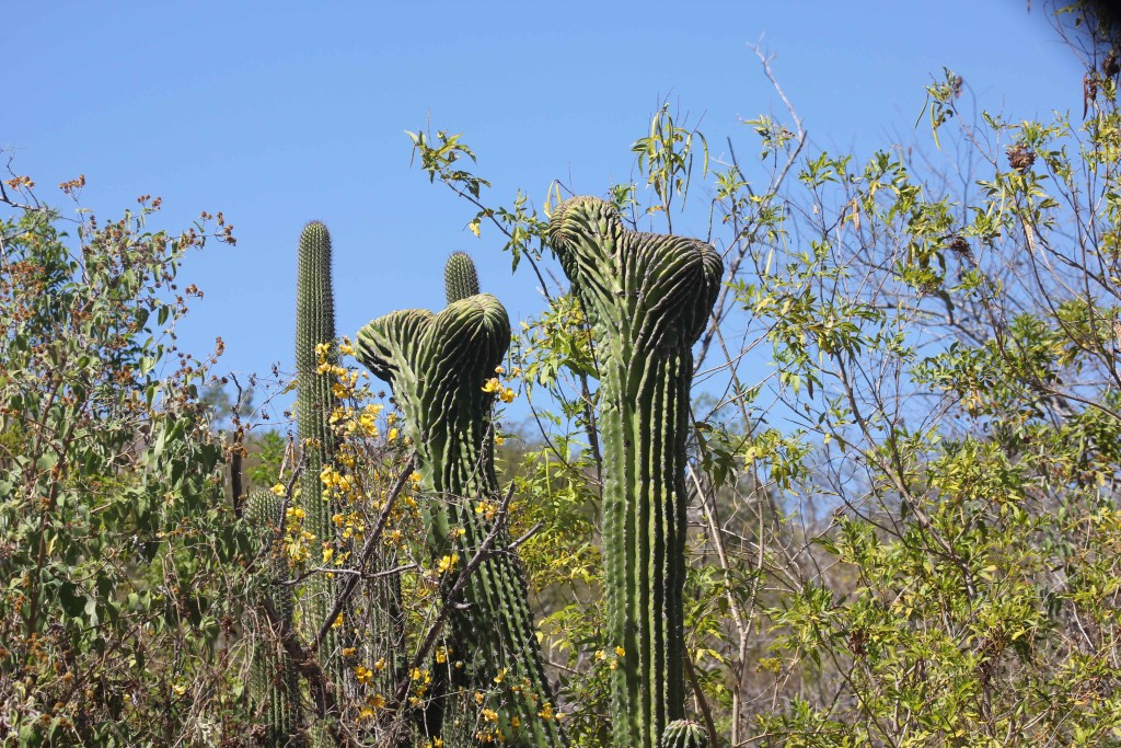 These oddly shaped Cardon cacti are rare genetic variations.