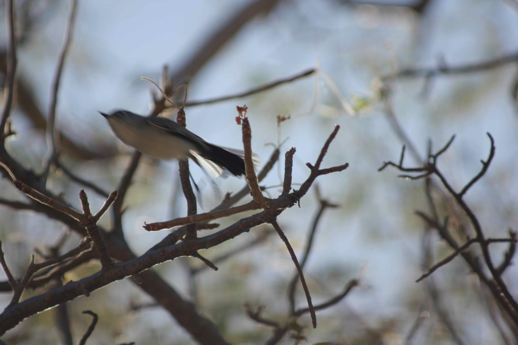 A blue-gray gnatcatcher on the move.