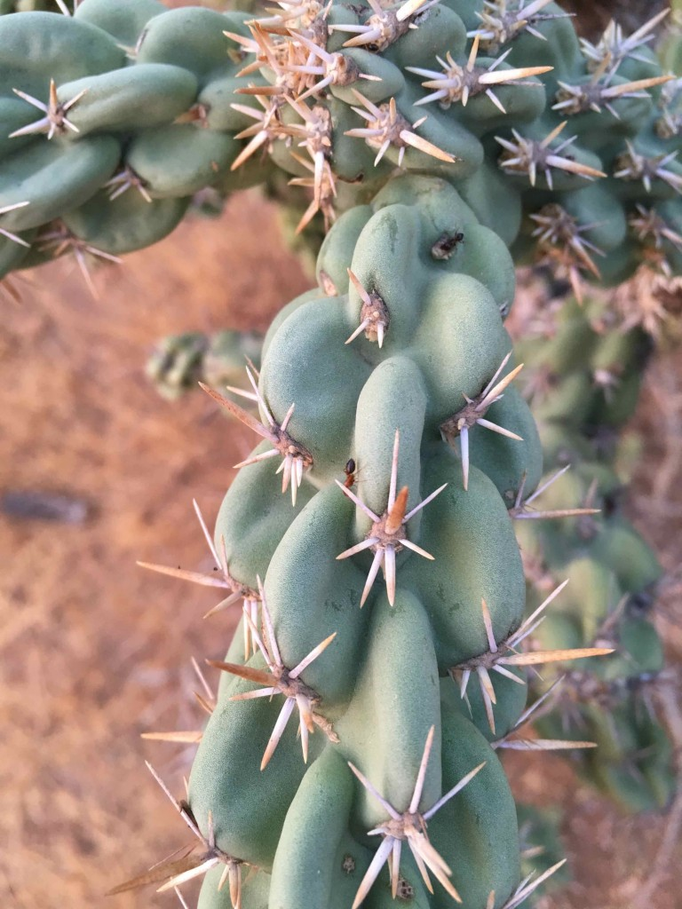 Ants on cholla. Eating from supplementary nectaries.