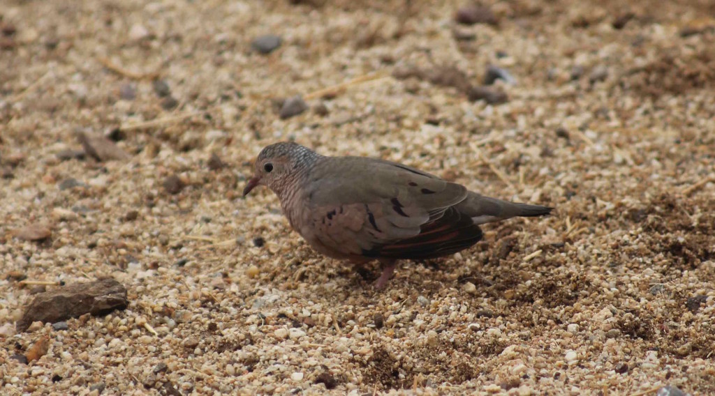 This is the Common Ground Dove. It is very tiny.
