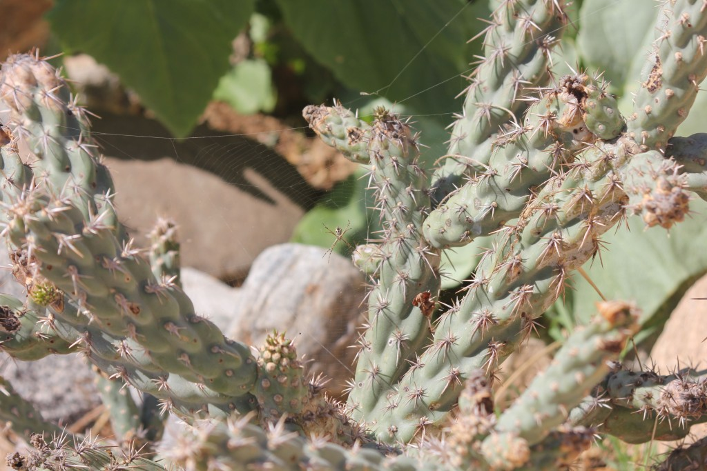 Orb weaver in the cholla.