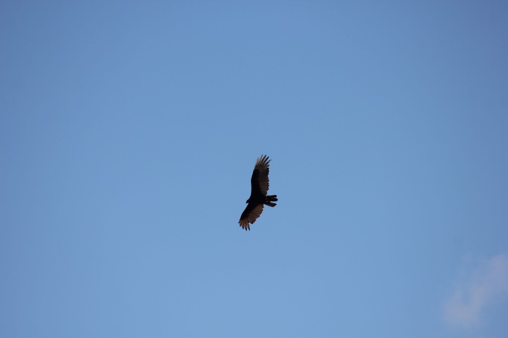 Turkey Vulture rides the thermals.