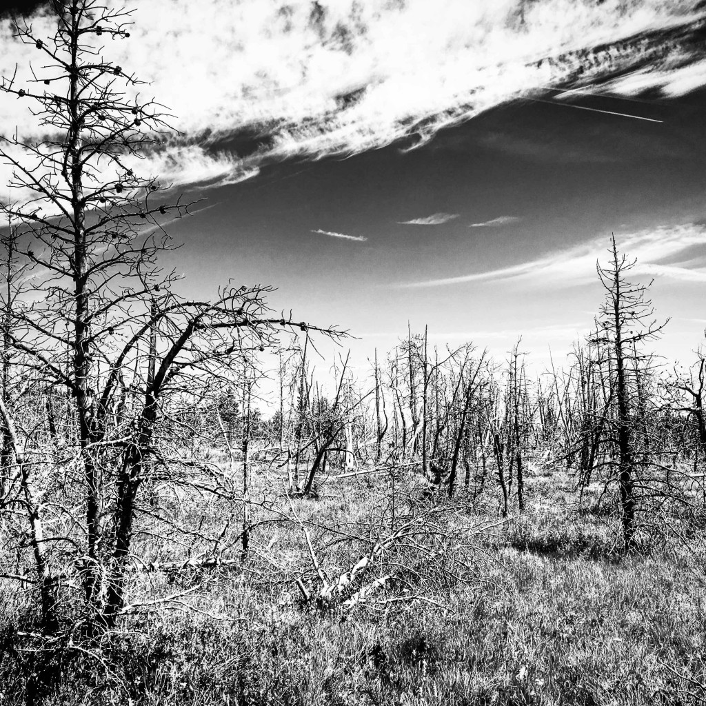 Dead trees on Lewis and Clark Pass.