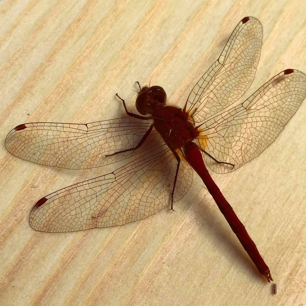 Red dragon fly dying on my board.