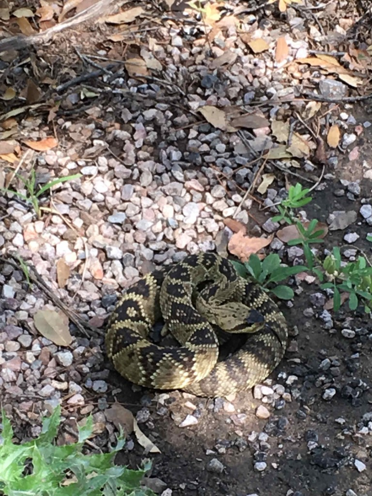 A blacktail rattle snake. Not everyone is hibernating.