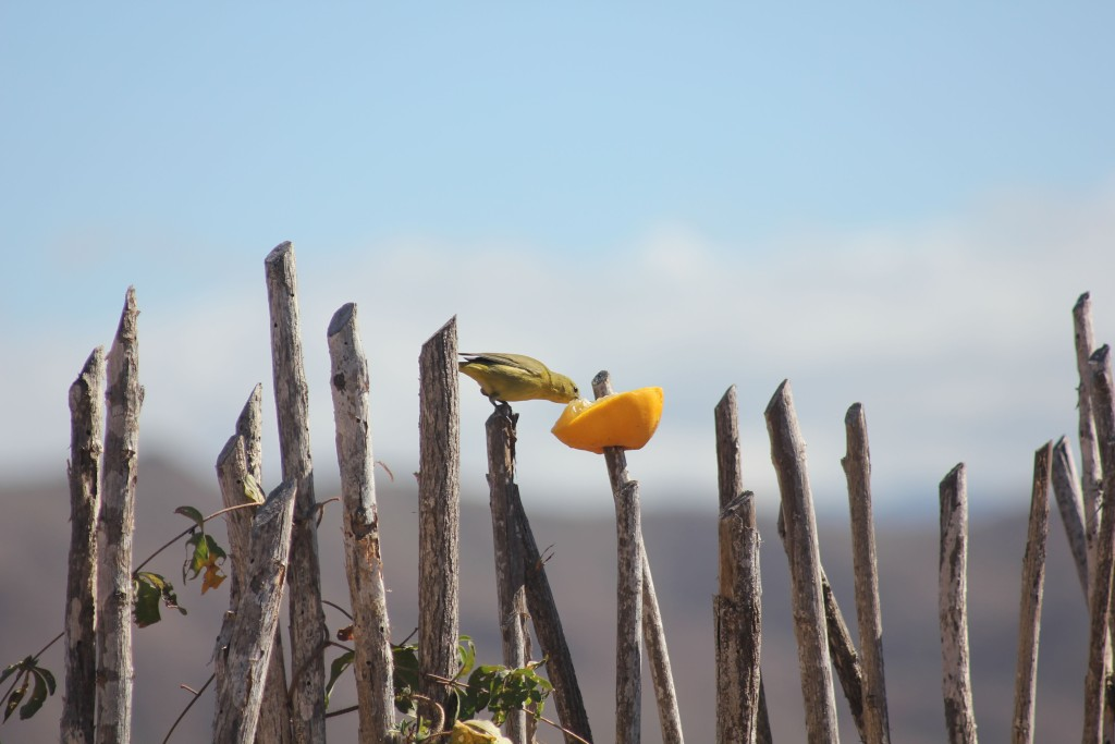 Yellow warbler on orange.