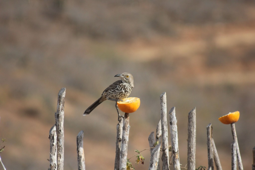 Gray Thrasher, another endemic species.