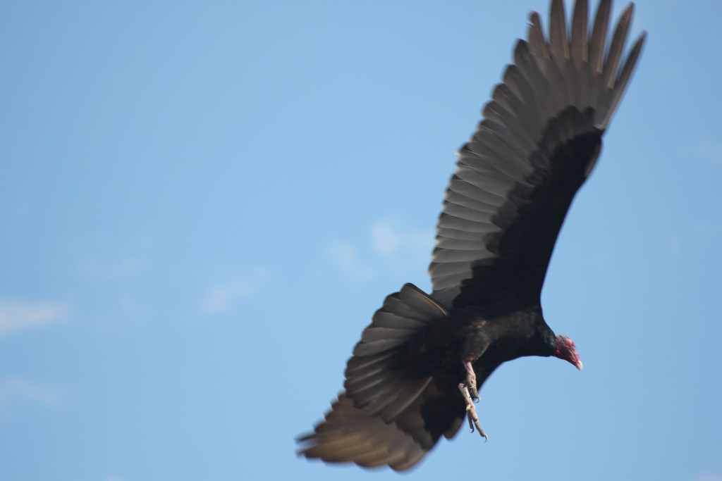 Turkey vulture leaving.