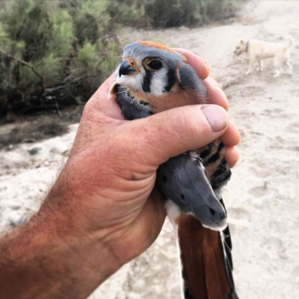 American Kestrel now known as Bad Hombre.