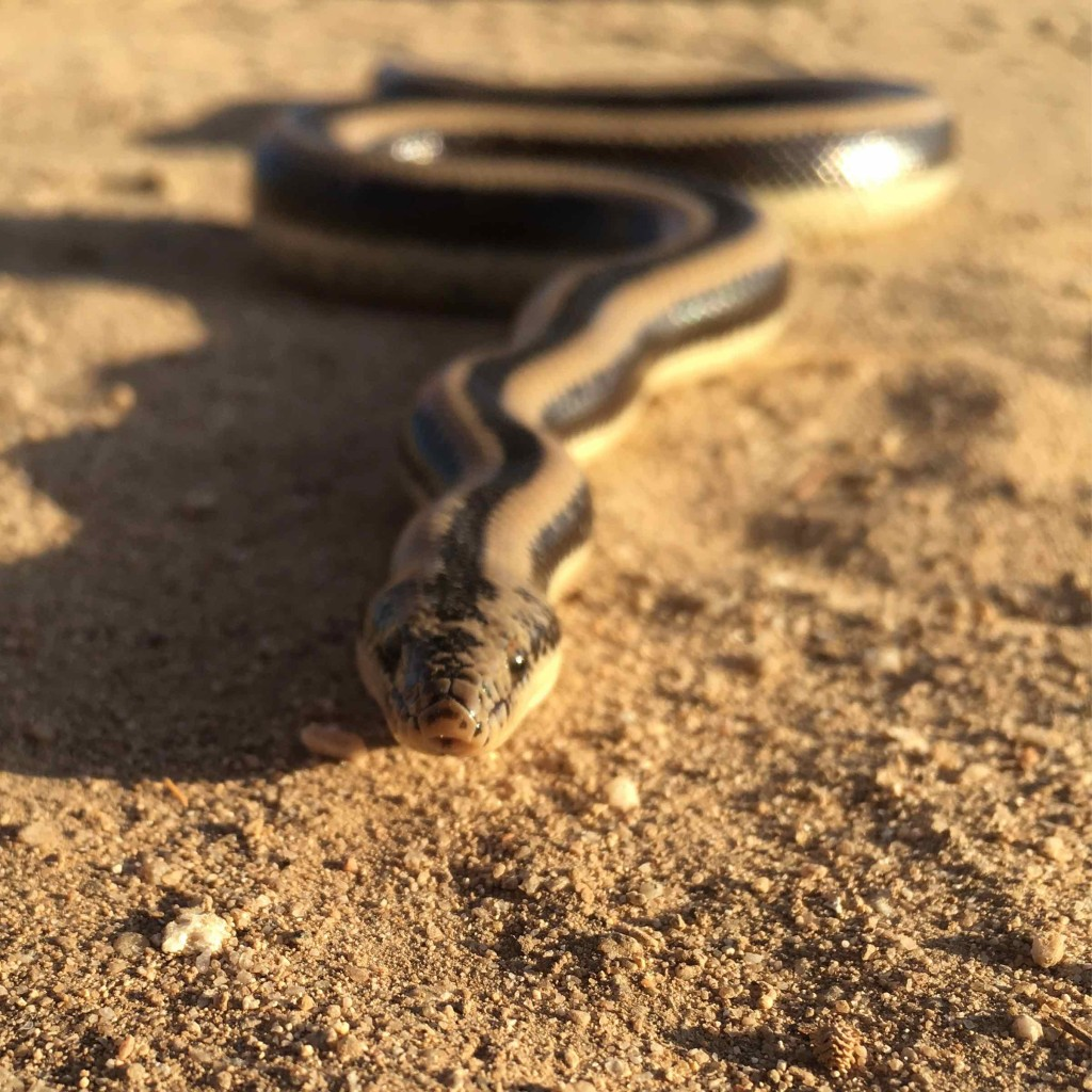 We found a rosy boa on the road.