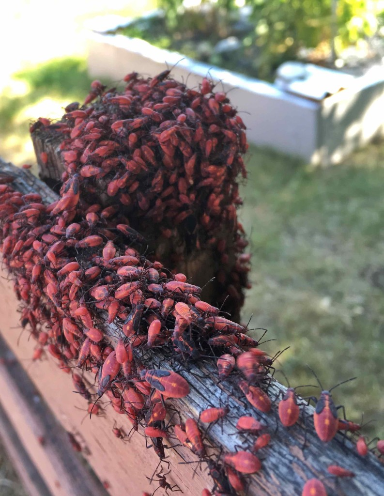 Box Elder Bugs. They are odoriferous.