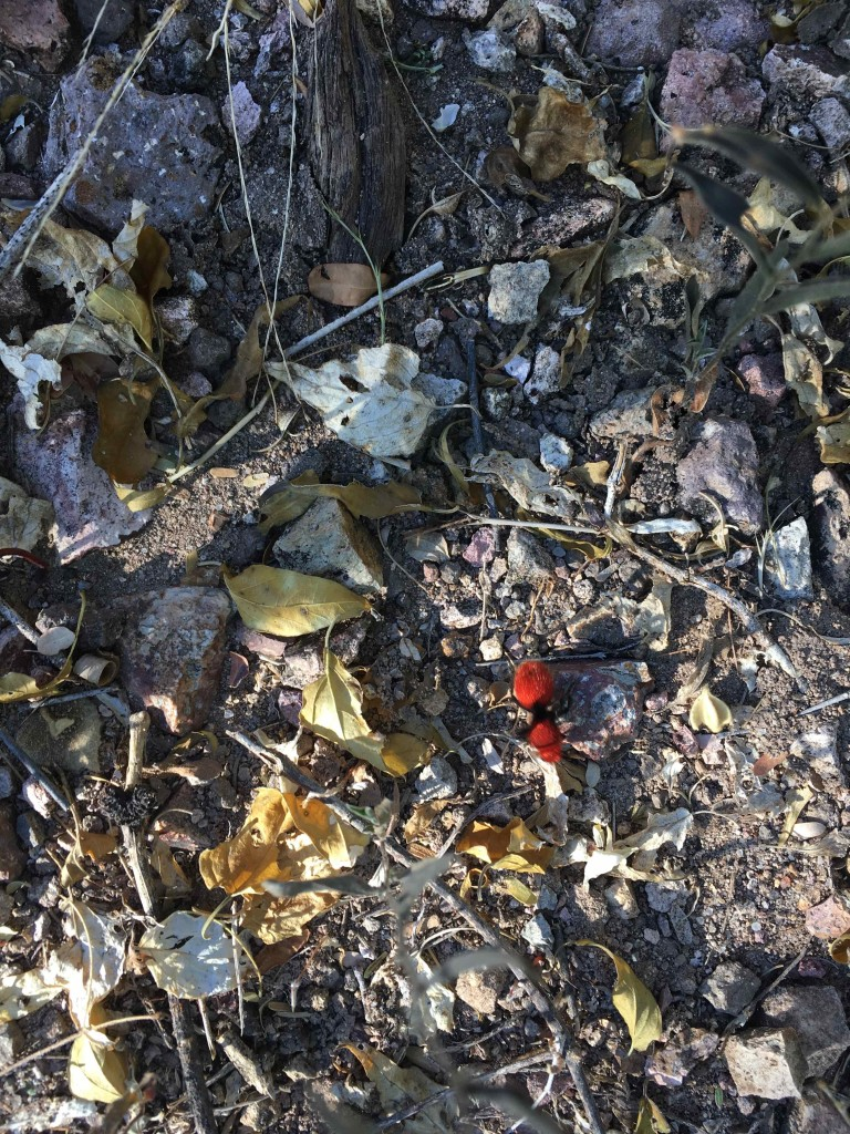 Velvet Ant, Northern Jaguar Project Reserve
