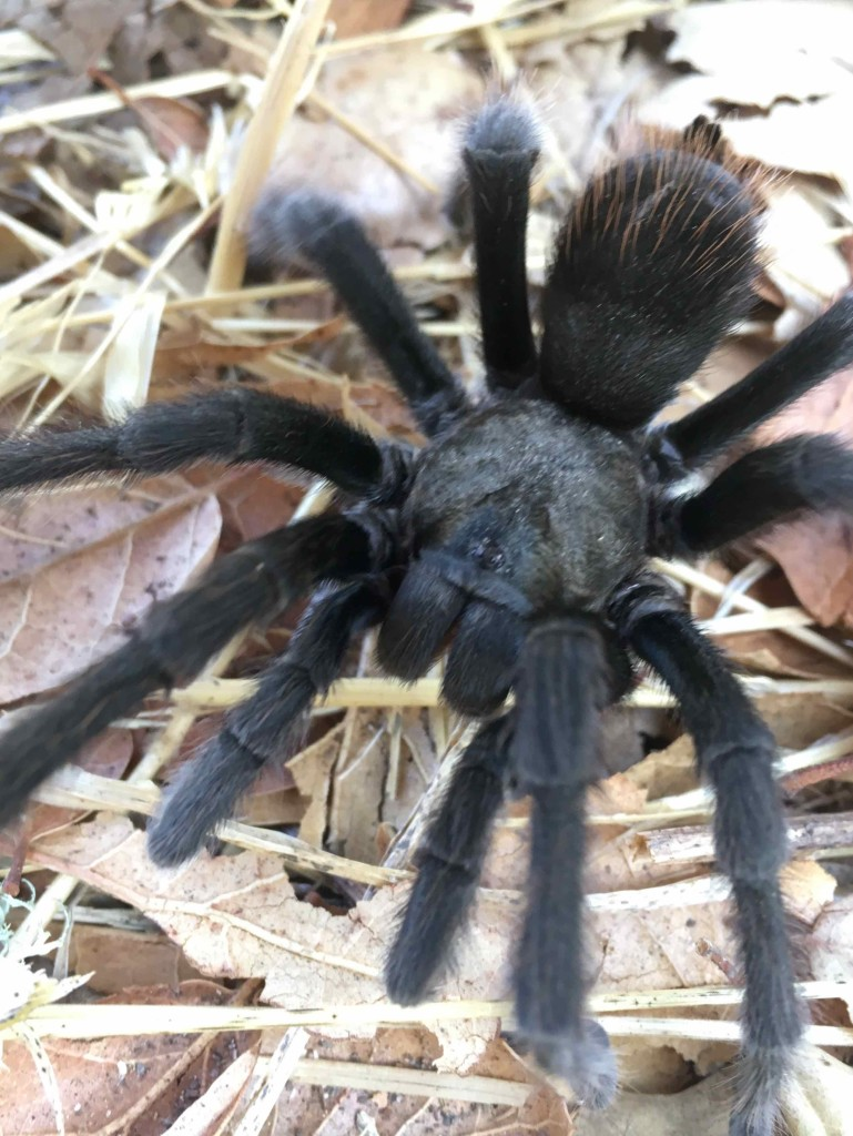 A tarantula harassed by ants. I took him to safety.
