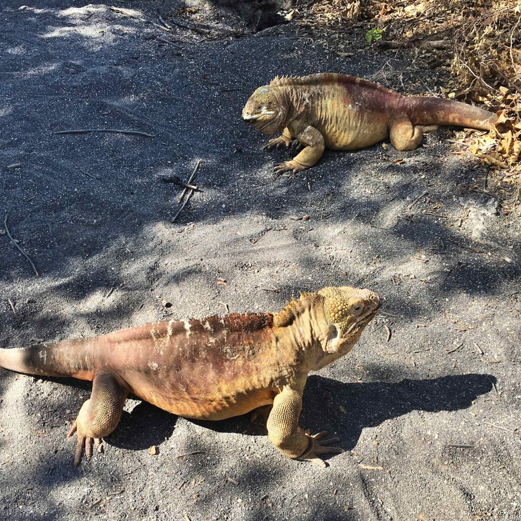 Land Iguanas. Males squaring off for a territorial battle.