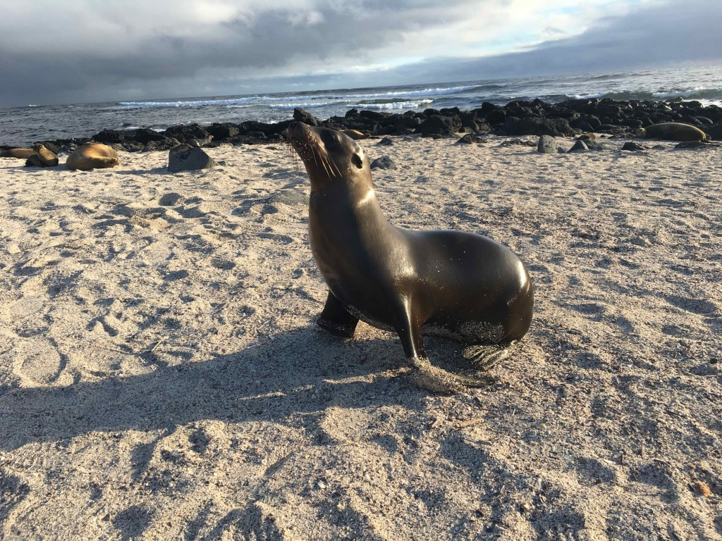 Female sea lion at La Loberia on San Cristobol Island.