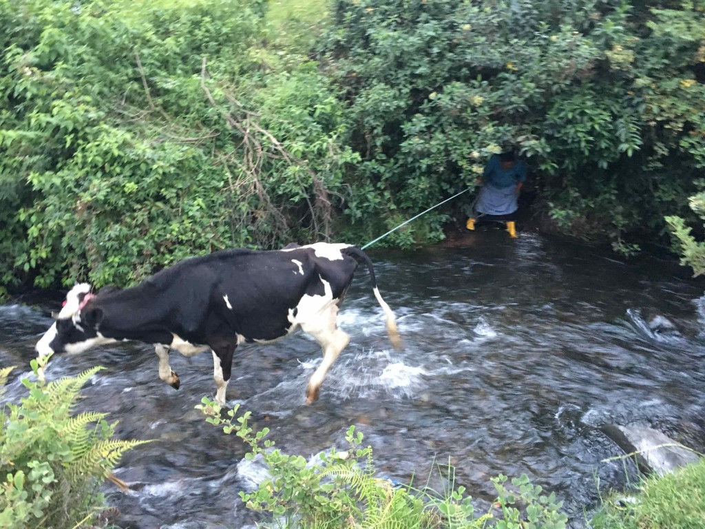 River crossing with the cow, Julieta. Named for Jueves which means Thursday.