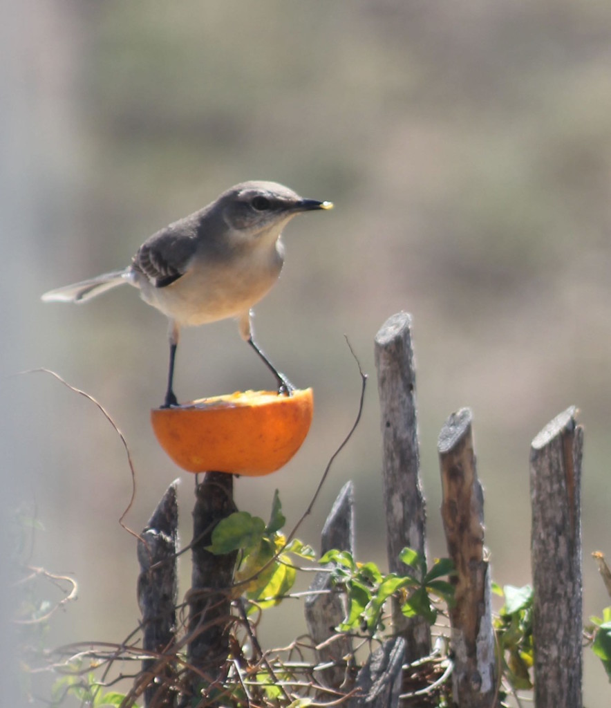 Mockingbird on orange