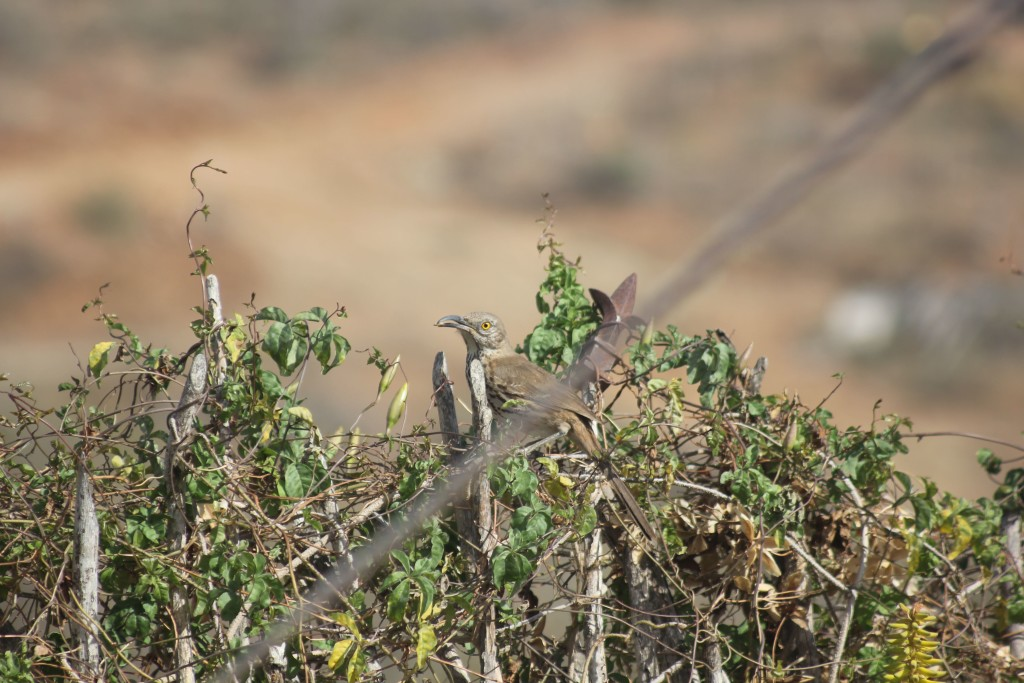 Gray Thrasher, an endemic bird of Baja California Sur.