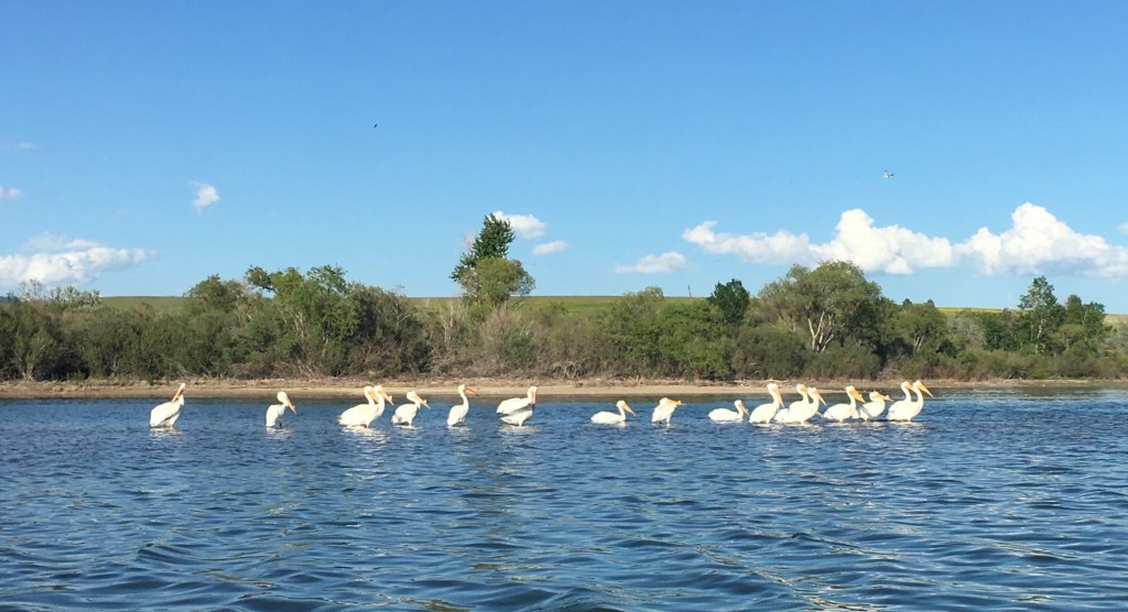 Pelicans. Blow this up and you can see disks on the bills. They grow in breeding season.