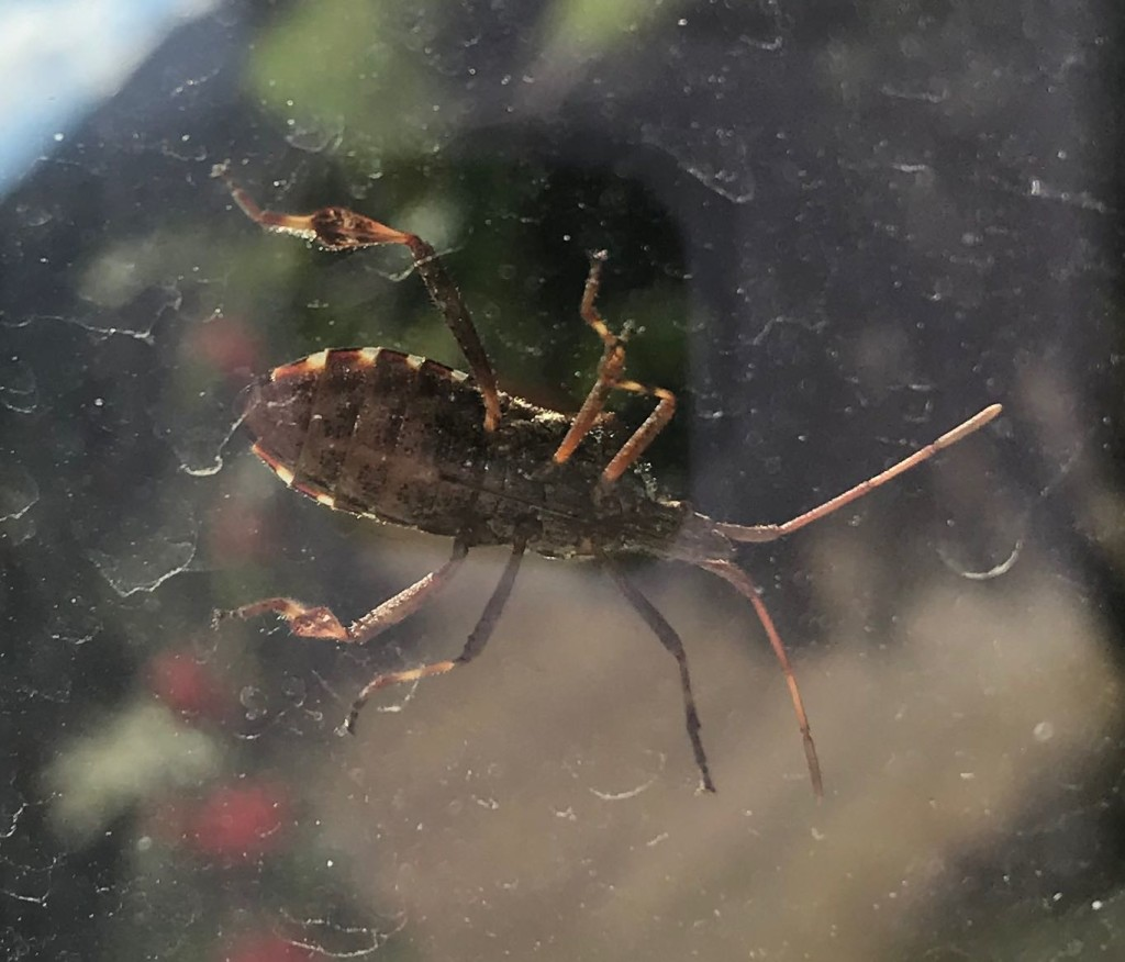Here's a visiting box elder bug. Some say stink bug.