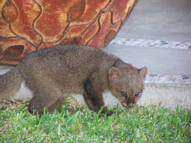 Is this what we saw? This is a jaguarundi. I think so.