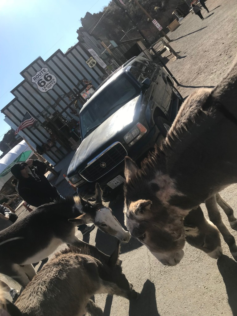 The wild burros of Oatman.