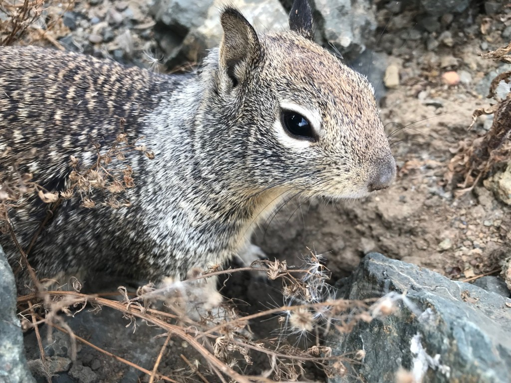 California ground squirrel.