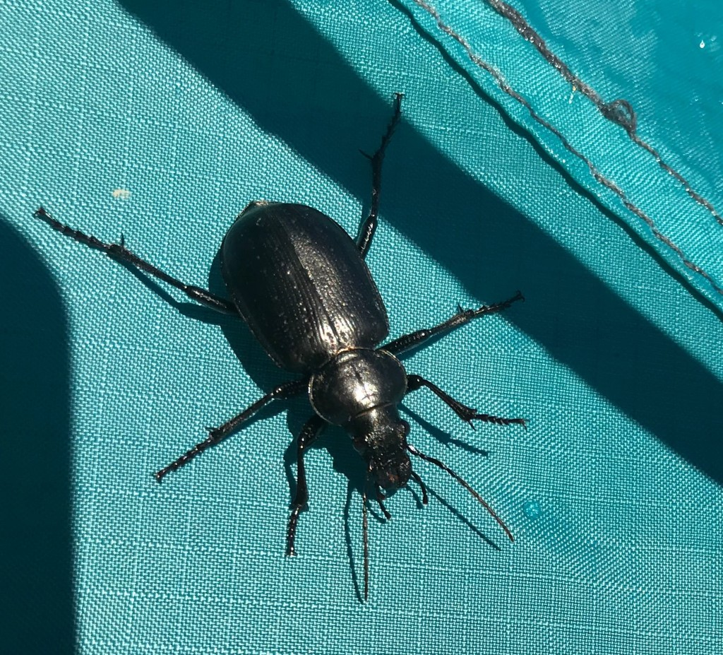Beetle on tent fly