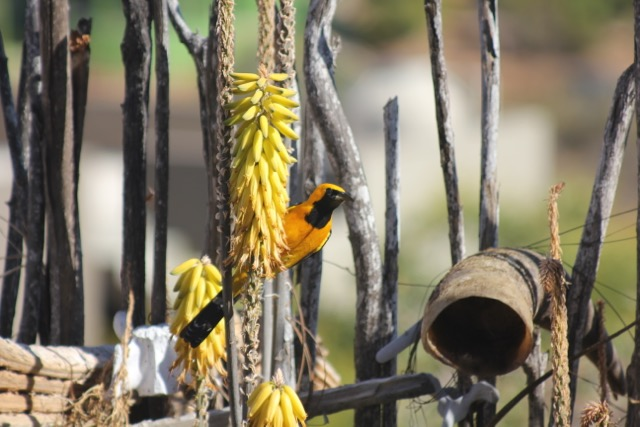 Hooded Oriole sipping the aloe nectar.