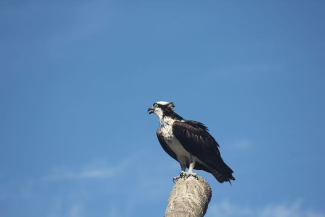 Osprey with a hairdo